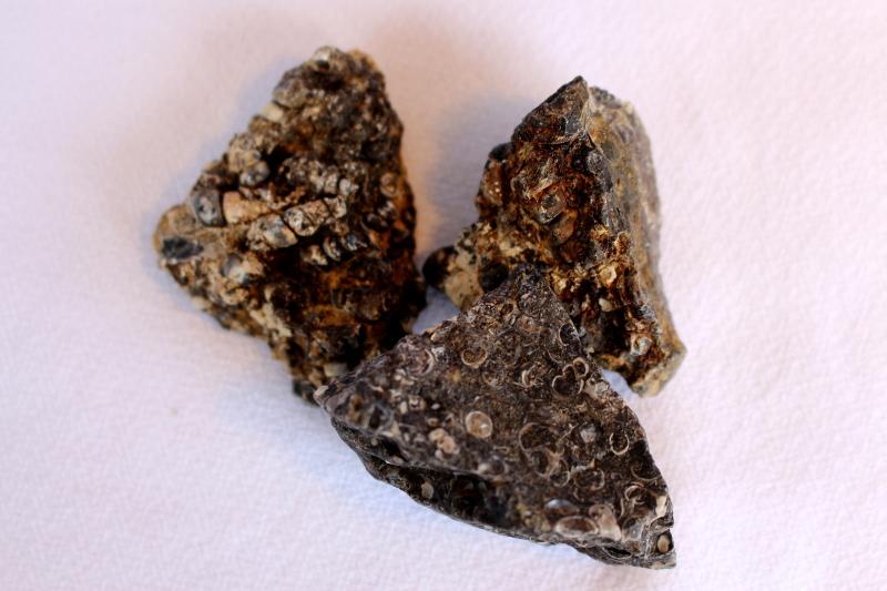 agate turitelle (fossile) brute